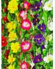 Лиана Фиалка с листом, 200 см