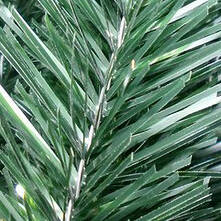 Зеленые иголки